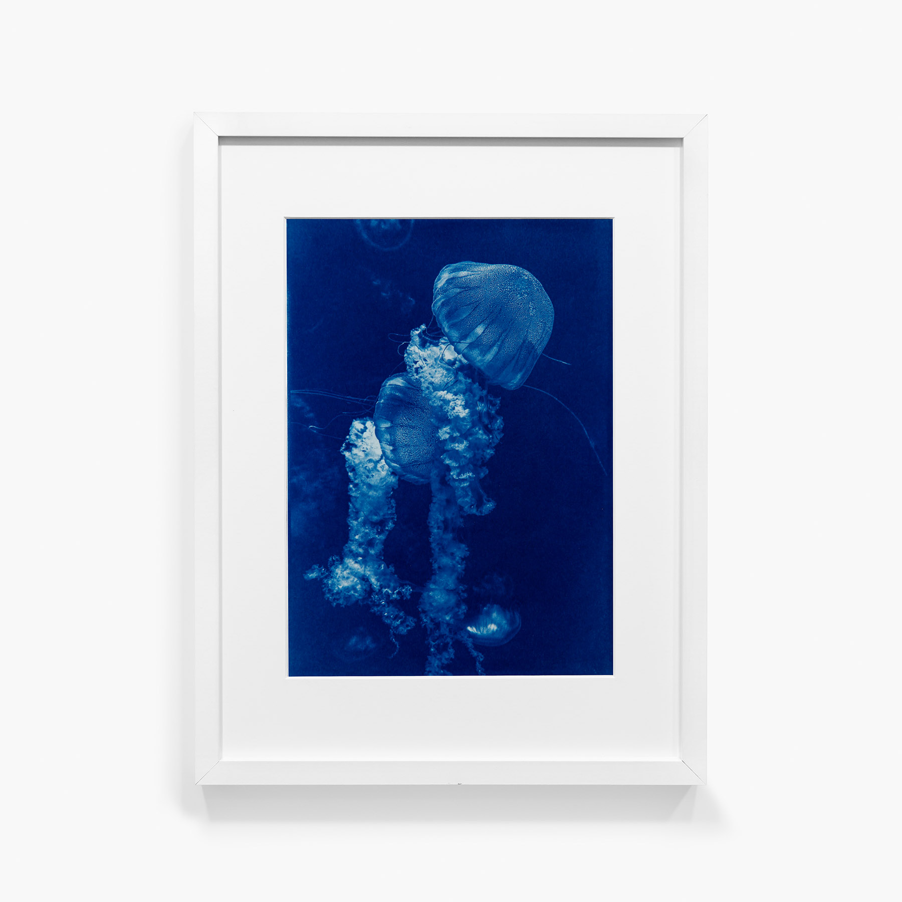Tirage au cyanotype Méduse 14