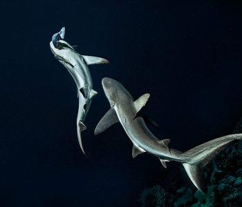 700-requins-Laurent-Ballesta-Photobook